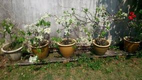 Vissna den vita bougainvillean Royaltyfri Foto