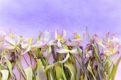 Vissna mjuka rosa tulpan mot den purpurfärgade lutningen färgar bakgrund Utrymme för text Vykortmall Mo Royaltyfria Bilder