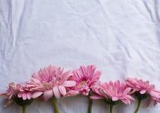 Vissna rosa gerberas Royaltyfria Bilder