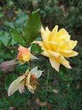 Vissna rosen för den fulla blomningen för blommaknoppen den gula fotografering för bildbyråer