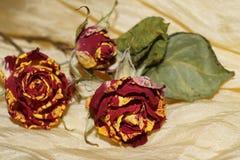 Vissna rosor på gult silke Arkivfoton