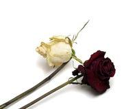 Vissna rosor vit och rött Fotografering för Bildbyråer