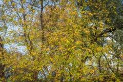 Vissna sidor på ett träd Arkivbilder