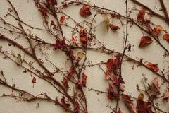 Vissna sidor på torr murgröna förgrena sig längs väggen Torka växtbakgrund Arkivbilder