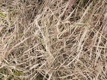 Vissna torra infödinggräs fotografering för bildbyråer