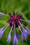 vissnad blå blomma Arkivfoton