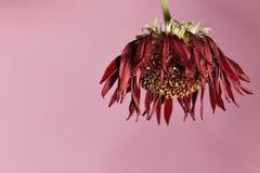 vissnad blomma Royaltyfria Foton