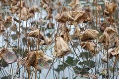 Vissnad lotusblomma, Adobe rgb royaltyfri fotografi