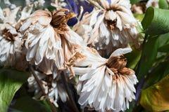 Vissnade blommor av krysantemumet Fotografering för Bildbyråer