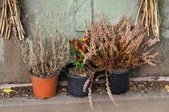Vissnade blommor i krukor Royaltyfri Foto