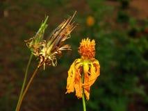 Vissnade blommor och torkat frö Arkivfoton