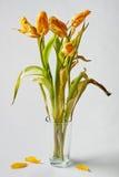 Vissnade gula tulpan Royaltyfri Foto