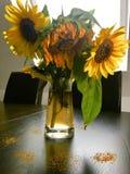 Vissnade solrosor i den glass vasen Royaltyfria Foton