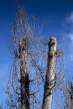vissnade trees Royaltyfri Bild