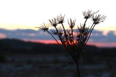 Vissnade växten för sol den lås Royaltyfri Bild