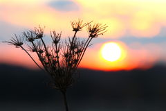 Vissnade växten för sol den lås Royaltyfri Fotografi