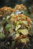 Vissnande torra vanlig hortensiablommor, närbild Royaltyfria Bilder