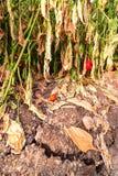 Vissnat växa för grönsaker från en torr sprucken jord Royaltyfria Bilder