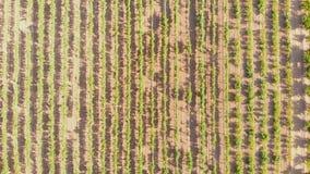 Vista aérea acima de campos das uvas no tempo do por do sol filme
