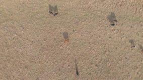 Vista aérea das vacas e das sombras O gado reune da vista aérea Voo do zangão sobre o pasto no campo moderno video estoque