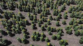 Vista aérea de campos con los girasoles almacen de metraje de vídeo