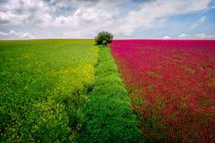 A vista aérea de campos da colza e de flores vermelhas colhe em horas de verão foto de stock royalty free