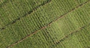 Vista aérea de la diagonal móvil creciente de la plantación verde sobre verde almacen de metraje de vídeo
