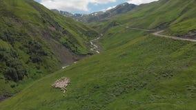 Vista aérea de la multitud de las ovejas que viaja en un prado alpino del verdor en el paso cruzado del oso Manada de ovejas en K almacen de metraje de vídeo
