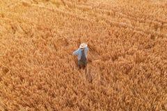 Vista aérea de la situación del granjero en campo maduro de la cosecha de la cebada imagen de archivo libre de regalías