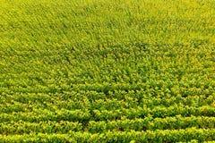 Vista aérea de los campos agrícolas que florecen la semilla oleaginosa Campo de Sunflowers Visión superior imágenes de archivo libres de regalías