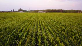Vista aérea de los campos de maíz que son irrigados con la granja de centro del maíz del sistema del pivote a gran escala Cantida almacen de video