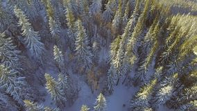 Vista aérea de madeiras da floresta das árvores Estação do inverno da neve Natureza bonita filme