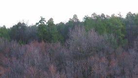 Vista aérea de un bosque pino-de hojas caducas en primavera temprana en el amanecer almacen de video