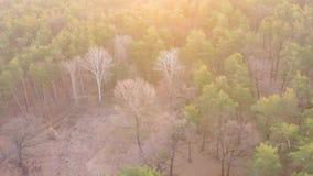 Vista aérea de un bosque pino-de hojas caducas en primavera temprana en el amanecer metrajes