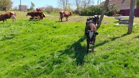 Vista aérea de un grupo de vacas que mastican la hierba en un prado verde claro en un rancho metrajes