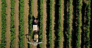Vista aérea de un tractor que cosecha las uvas en un viñedo Vides de uva de rociadura del granjero con el tractor almacen de video