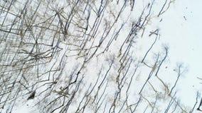 Vista aérea de una arboleda de los árboles de Aspen con nieve en la tierra y las sombras largas almacen de metraje de vídeo