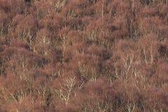 Vista aérea del bosque del abedul de plata en invierno Imagen de archivo libre de regalías