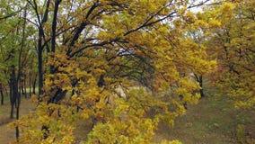 Vista aérea del bosque del otoño almacen de video