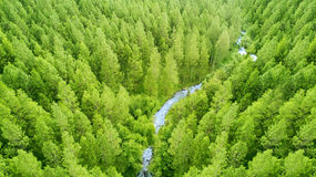Vista aérea del bosque del pino fotografía de archivo libre de regalías