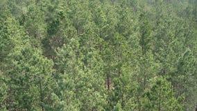 Vista aérea del bosque europeo del árbol de pino en un día soleado Fondo del modelo del árbol de pino, preservando el bosque almacen de metraje de vídeo