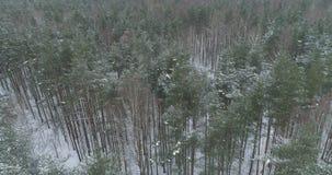 Vista aérea del bosque del pino en un día de invierno Foto de archivo libre de regalías