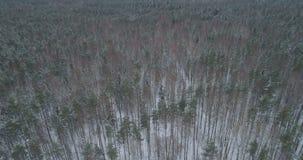 Vista aérea del bosque del pino en un día de invierno Imagen de archivo libre de regalías