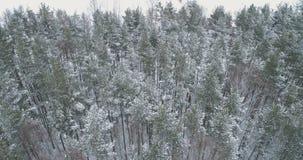 Vista aérea del bosque del pino en un día de invierno Fotografía de archivo libre de regalías