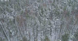 Vista aérea del bosque del pino en un día de invierno Imágenes de archivo libres de regalías