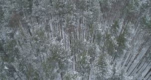 Vista aérea del bosque del pino en un día de invierno Fotos de archivo libres de regalías