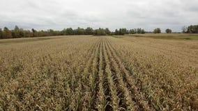 Vista aérea del campo de maíz plan medio metrajes