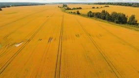 Vista aérea del campo de trigo de oro Vídeo aéreo Foto de archivo libre de regalías