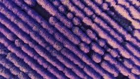 Vista aérea del campo del levender foco hacia números más inferiores y medios GoPro, Fotografía de archivo