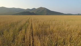 Vista aérea del campo orgánico de la cebada metrajes